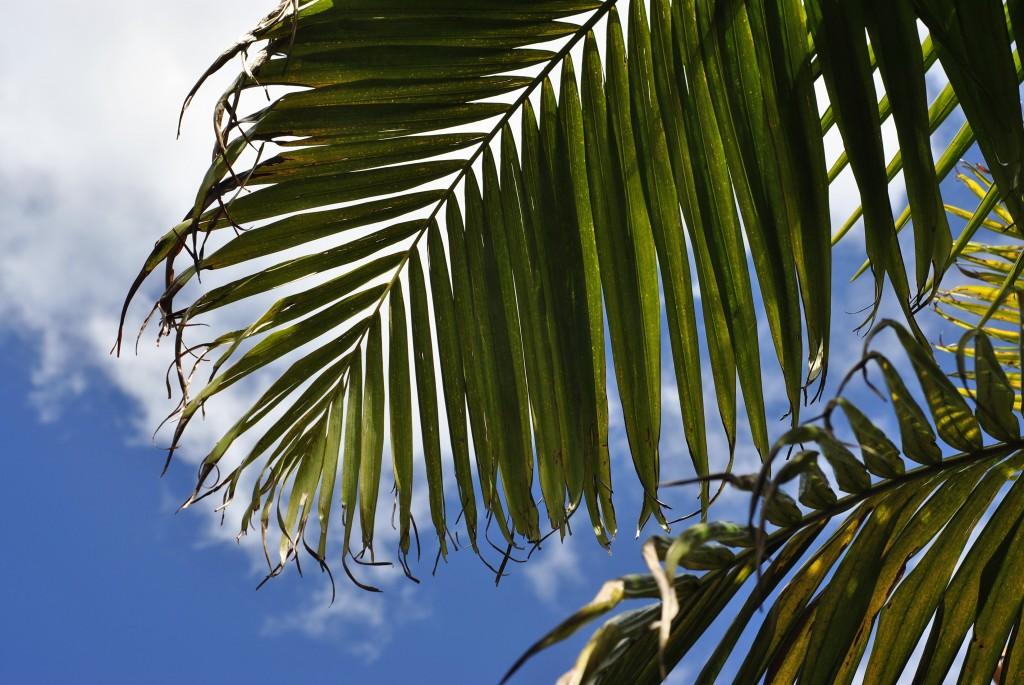 Palms in Vincentia: f/7.1; 1/320sec; ISO-100