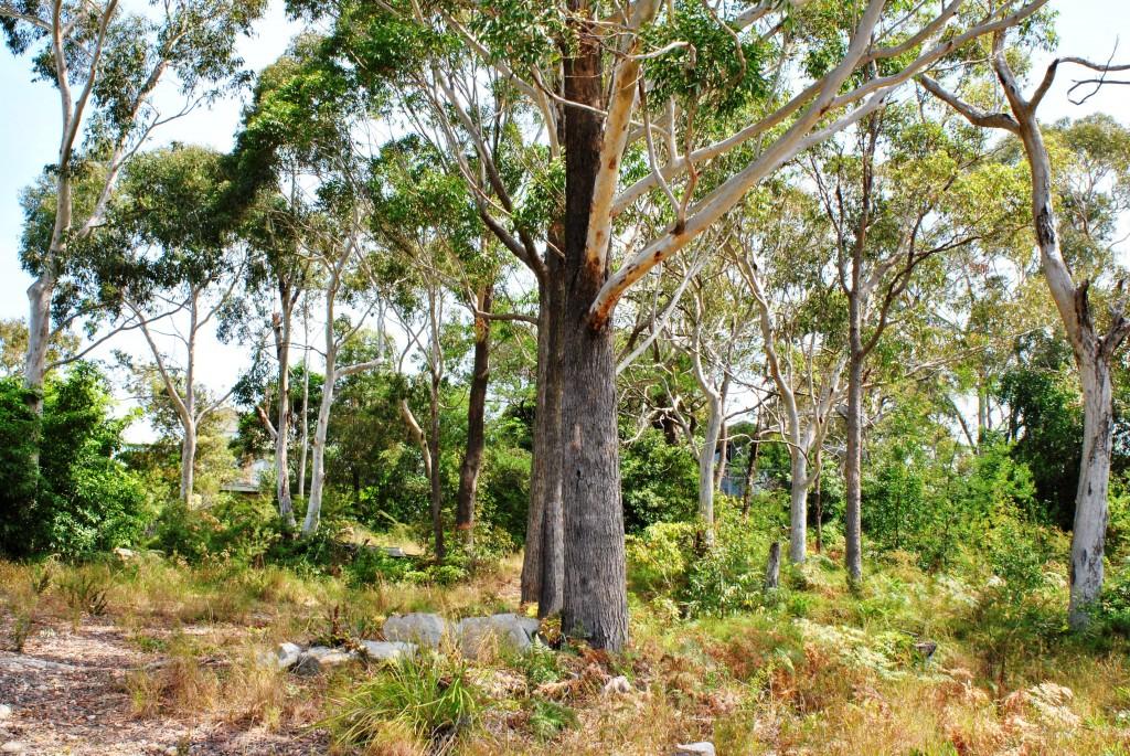 Australian Gumtrees at Jervis Bay: f/16; 1/60sec; ISO-320