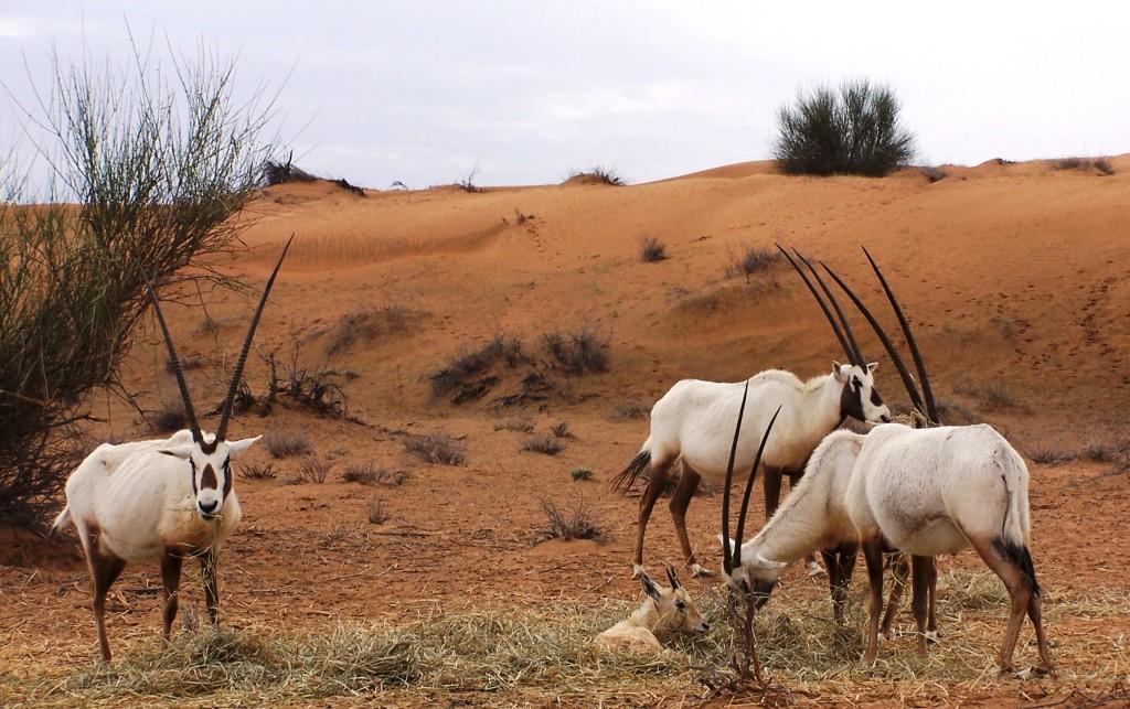 Al Maha Baby Oryx in the manger: f/4.5; Exposure 1/750sec