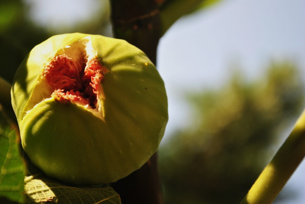 Fruit is a leading Sattvic Food: Fresh Figs found on a fig tree in Saronida, Attica, Greece