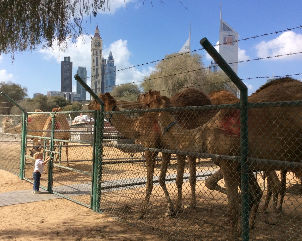 Za'abeel Vets have their camels, donkey, goats and sheep out for locals to pet